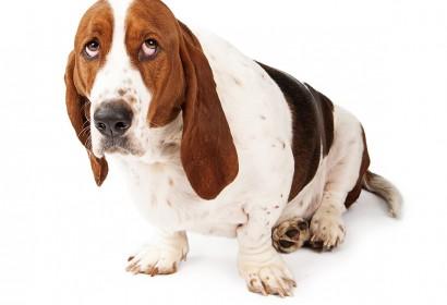 Basset Hound perro