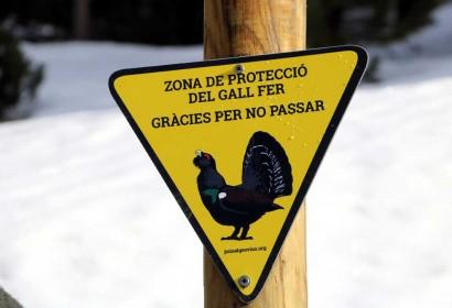 Imatge d'un exemplar de gall fer (Arxiu ACN).|Rètol que indica zona de protecció de gall fer en una estació d'esquí (Foto: ACN).