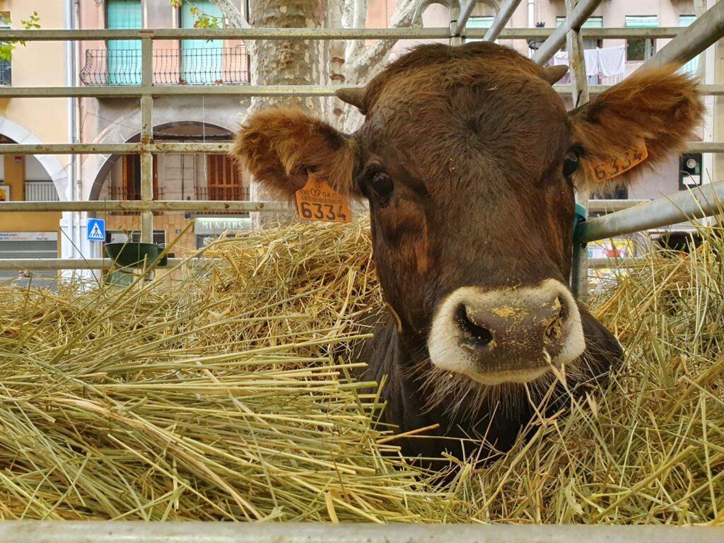 berga vaca