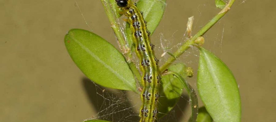 Eruga defoliadora del boix (Cydalima perspectalis) (Foto: ACN).